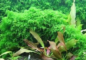 Xmas Moss - Live Aquarium Plant Fish Fern Tank Java Q