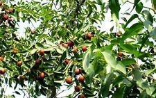 Schmeckt ganz besonders lecker : Chinesischer Dattelbaum Ziziphus jujuba ! Samen