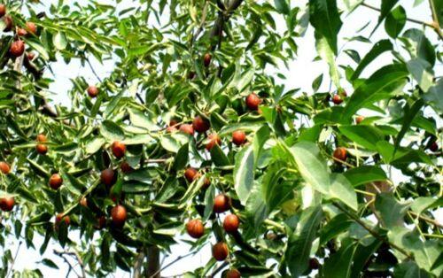 Blüht wunderschön Samen lecker chinesisch Dattelbaum // frosthart bis 30°