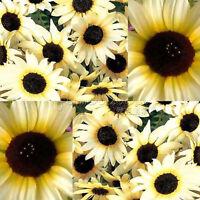 100 Sunflower Italian Seeds Super funDIY   Garden Flower wonderful option