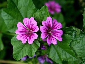 Common Mallow Seed Purple Cut Flower Adaptable Frost Tolerant