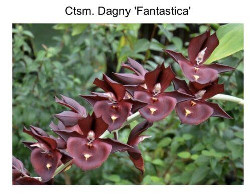 16 Catasetum JC Burchett 'Ursa Major' AM X Ctsm Dagny 'Fantastica' 2 Inch 7621