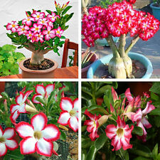 5PCS Rare Pink Adenium Obesum Desert Rose Flower Seeds Bonsai Tree Plant Garden
