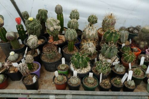 5-250 SEEDS Astrophytum Myriostigma Nudum Cactus Samen Korn Graine 種子 씨앗 Семена