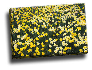 Hillside of Daffodils, Louisville, Kentucky Giclee Canvas Wall Art Picture