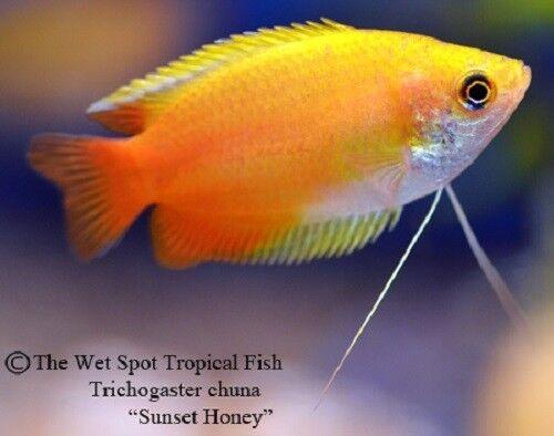 "(6) 1.5"" Sunset Honey Dwarf Gourami Trichogaster chuna live tropical freshwater"