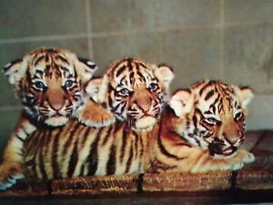 VINTAGE-PHOTO-POST-CARD-TIGER-CUBS-BEAUTIFUL-WOODLAND-PARK-ZOO-SEATTLE-WA