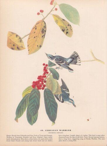 """1942 Vintage AUDUBON BIRDS #48 /""""CERULEAN WARBLER A/"""" Color Art Plate Lithograph"""