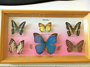 Framed-butterfly-collection-Rare-Electric-Blue-Morpho-Menelaus-insect-taxiderm