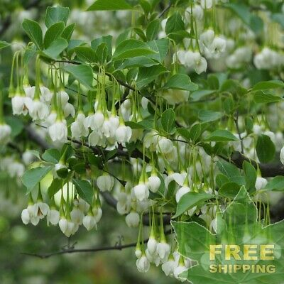 Japanese Snowbell Styrax Japonica 10 Seeds Free S H Ebay