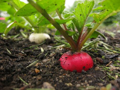 German Giant Radish Select Quantities 30-30000 Seeds Very Large Delicious Crispy