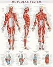 Muscular System-Laminated by BarCharts Inc (Hardback, 2013)