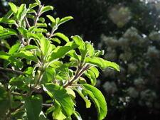 200 MOZZARELLA BASIL Sweet Italian Heirloom Ocimum Basilicum Herb Flower Seeds