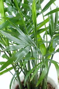 die-Pembapalme-die-gruenen-Palmen-Blaettern-dekorative-Palme-Zimmer-Samen