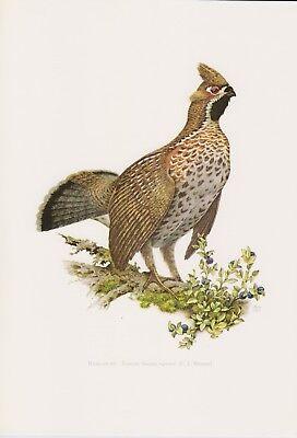 GemäßIgt Haselhuhn (tetrastes Bonasia, Syn.: Bonasa Bonasia) Farbdruck 1958 Ornithologie Angenehm Zu Schmecken