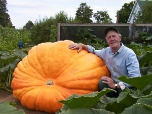 Pumpkin-Seeds-25-DILL-039-S-ATLANTIC-GIANT-PUMPKIN-SEEDS-1500-Pound