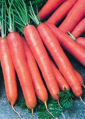 ORGANIC Carrot berlicum 2 -  Appx 3000 seeds  - Vegetable