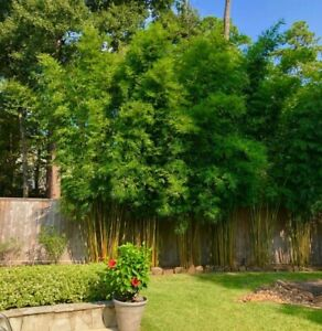Details About 7 Gallon Graceful Gracilis Clumping Bamboo Plant 5 Ft Gorgeous Privacy Screen