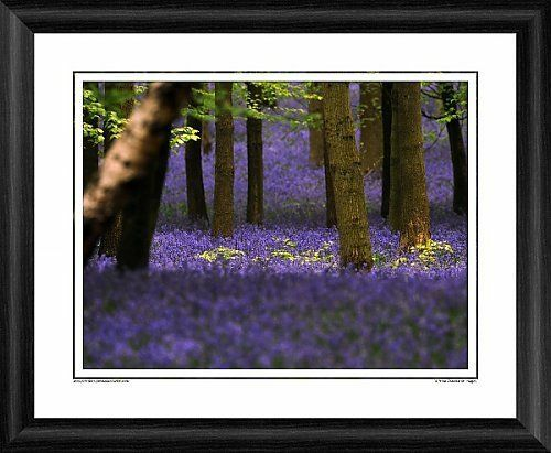 Bluebell Wood Framed Photographic Print
