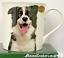 Border-Collie-Sheepdog-Sheep-Dog-china-mug-print-2-sides-Leonardo-gift-boxed thumbnail 1