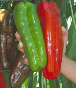 25-Pepper-Seeds-Giant-Marconi-Hybrid-Sweet-Pepper-Seeds