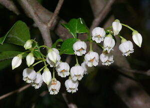 Sparkleberry Tree Huckleberry Vaccinium Arboreum 20 Seeds Free