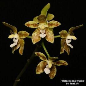 TS421.27 Phalaenopsis viridis Bare Root A259