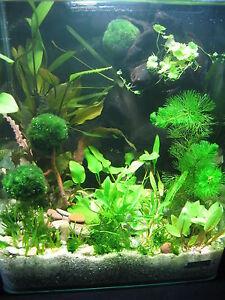 TOP-Schoene-3-Mooskugeln-Mooskugel-Wasserpflanzen-f-Aquarium