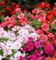 Impatiens/Busy Lizzy - Athena Mixed - 10 Seeds