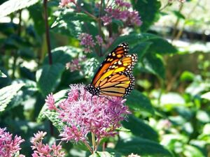 Native-Rose-Pink-Milkweed-Seeds-Attract-Bees-Butterflies-Perennial