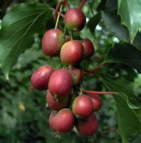 NO FUZZ Anna Kiwi Seeds Grows 100 #/'s of fruit per plant SUPER SWEET MINI/'S!