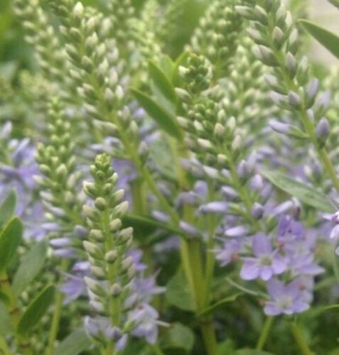 Hebe MARGRET Commonly known as Shrubby Veronica.