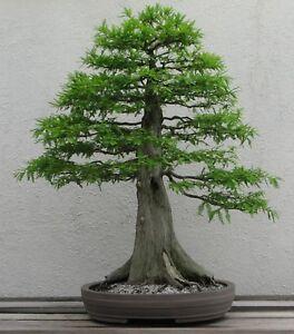 Bonsai-Samen-i-KONIFERE-SUMPF-ZYPRESSE-i-Zimmerpflanze-Wintergarten-exotisch