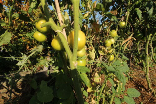 "Tomate ""Quimbaya"" seltene alte Sorte aus Regenwald Kolumbien ökologischer Anbau"