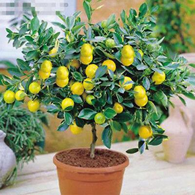 10Pcs Rare Lemon Tree Indoor Outdoor Available Heirloom Fruit Seeds Love Garden