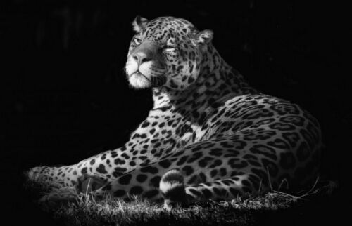 Wild Leopard Sitting in the Shadows Picture Poster Animal Art Framed Print