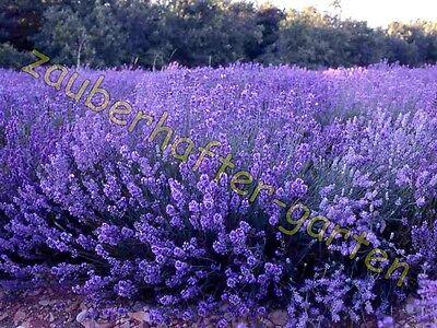 Echter Lavendel winterhart Lavendelsamen Kräuter der Provence Gewürz 120 Samen