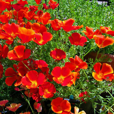 Red Chief Poppy Seeds, Red Chief Poppies, Wildflowers Non-Gmo Annual, 75ct