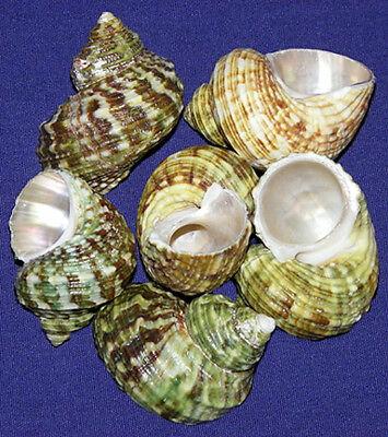 "Pearled Gold Mouth Turbo Shells ~2/""-2-1//2/""~Seashell Craft Select 2//4//6 Pcs."