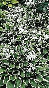 HOSTA RoyalStandard PLANT BUY ANY 5 HOSTAS AND GET 1 FREE  2 Year Old