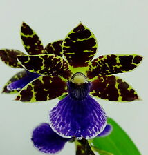 Zygopetalum Black Sea Hybrid Selection Duft Orchidee Orchideen
