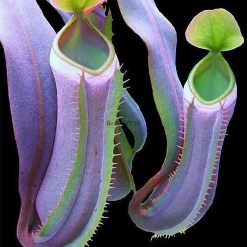 #102 25pcs Eating Mosquito Carnivorous Plants Nepenthes Seeds