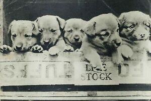Post Card CORGI Pups Vintage Magna Chrome Series Jarrold & Sons Norwich Ref A106