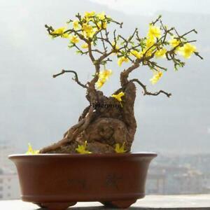 20 Semillas Bonsai Balcón Home Garden Forsythia Seeds Weeping Forsythia W2b1z4vy-10041812-909974797
