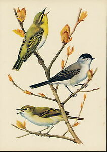 Antique Old Vintage TUNNICLIFFE Litho Art Bird Print Willow Wood WARBLER