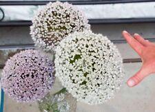 Allium ampeloprasum Estate aglio enormi fiori bianchi perenne Heil pianta