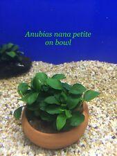 Exotic Live Aquatic Fresh Water Plant Anubias nana petite on BOWL L317
