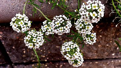 "Trailing Sweet Alyssum (Lobularia) ""Snow White"" x 100 seeds. Gift in store"