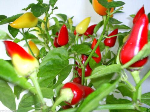 Très Rare * Cappa conique Piment Chili Pepper Graines
