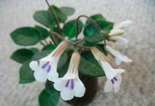 20 Seeds Primulina Flowers Rare Kinds Bonsai Plants Potted in Home Decor Garden